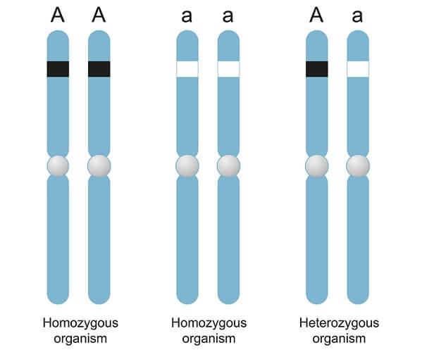 纯合子与杂合子的区别