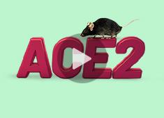 ACE2小鼠模型在中和抗体和疫苗研发中的应用