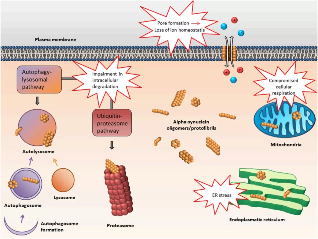 Figure 1: The Pathogenicity hypothesis of α-Synuclein. Aggregated α-synuclein may form a pathway that can alter the permeability of cell membrane. On the other hand, it may enter the mitochondria or endoplasmic reticulum and affect their normal functions. α-synuclein may also have an adverse effect on the degradation pathway of cell contents, such as the formation of lysosomes and autophagosomes.