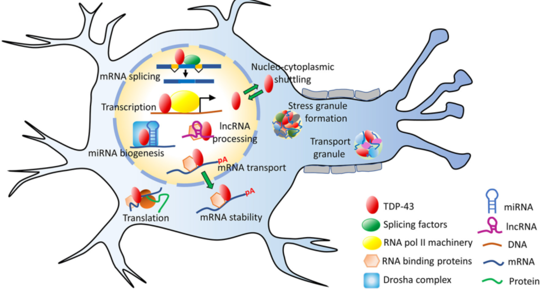 Cyagen | Figure 2: Functions of TDP-43. TDP-43 is involved in mRNA-related processes in cell nucleus, such as transcription, splicing, maintaining RNA stability, and processing of miRNA and lncRNA. Its main functions are completed in the nucleus, yet it also shuttles between nucleus and cytoplasm.