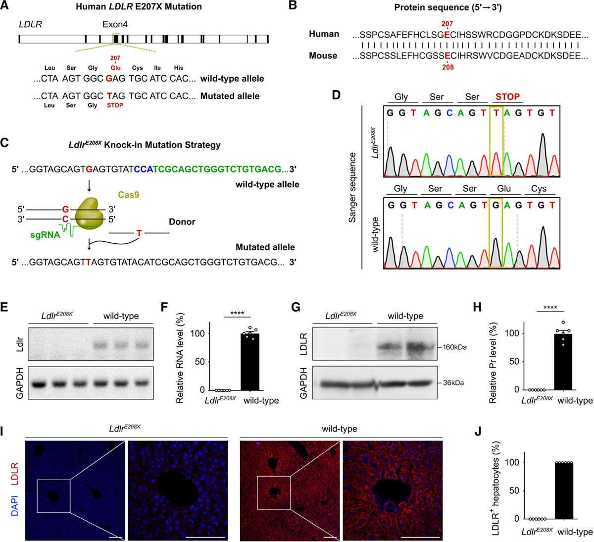 Figure 2. Generation and characterization ofLdlr-E208X (LdlrE208X)knock-in point mutation mouse line. | Cyagen
