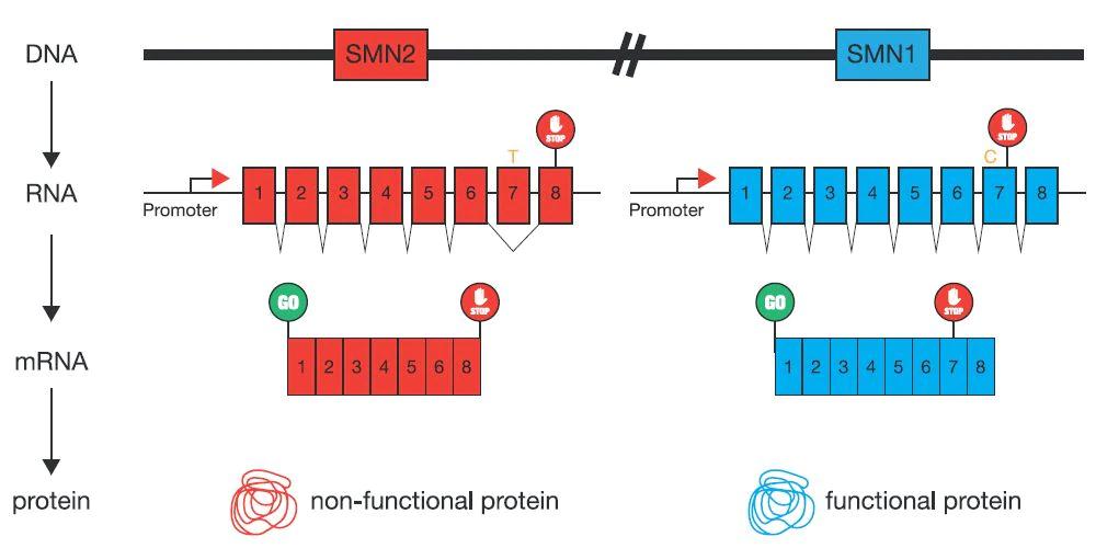 Figure 2: SMN1 and SMN22 | Cyagen