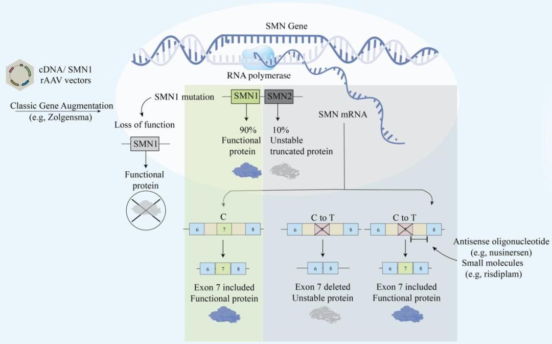 Figure 3: SMA Gene Therapy3 | Cyagen