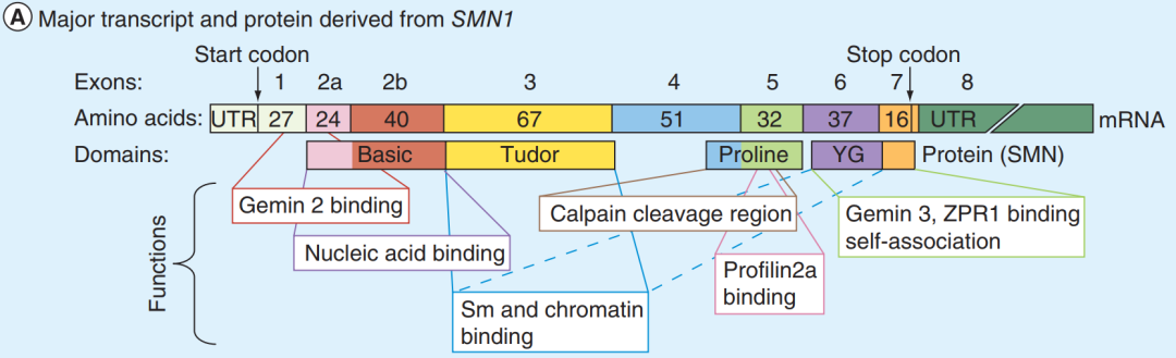 SMN1 Structure and Function | Cyagen