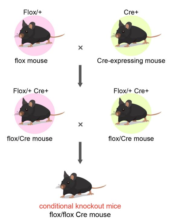 workflow of Cre-Lox system | Cyagen