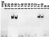 CRISPR可能导致大量重复片段插入基因组 且无法被PCR等标准方法识别