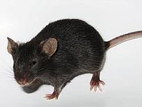 创新CRISPR碱基编辑技术成功延缓ALS小鼠模型疾病进程!