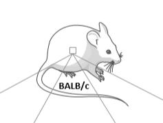 免疫缺陷小鼠分类有哪些?