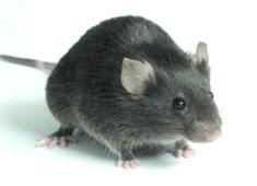 TALEN基因敲除/敲入鼠
