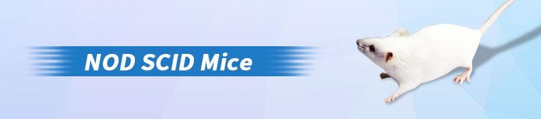NOD scid Mice
