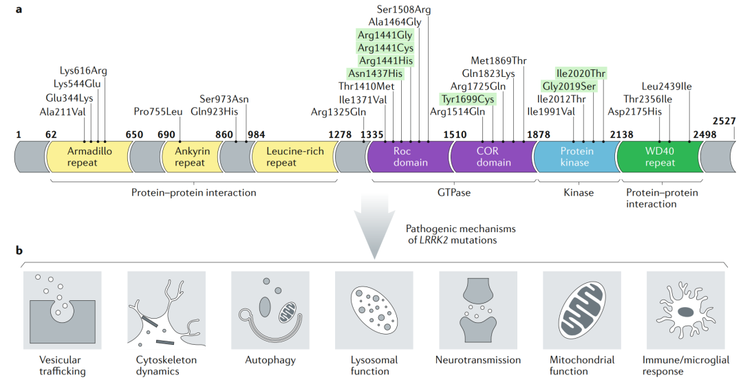Figure 1: The structure and function of LRRK2 | Cyagen