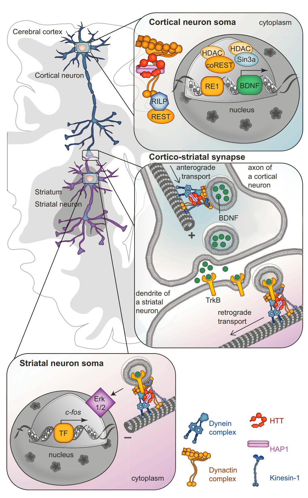 Cyagen | Figure 2. HTT Regulates the Function of the Cortico-Striatal Connection  DOI: 10.1016/j.neuron.2016.02.003。