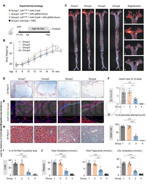 Atherosclerosis inLdlr-E208Xmice after a high-fat diet regimen. | Cyagen