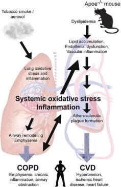 図2.脂質の不均衡、内皮機能障害、および全身性炎症が共にApoe-/-マウス(およびヒト)のアテローム性動脈硬化症と肺の炎症への発症を決定する|サイヤジェン株式会社